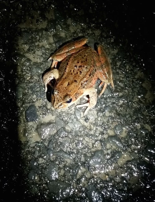 Frog in a spot light (1)