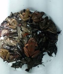 Frogs in a bucket (1)